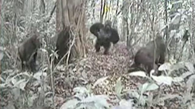 Rare gorilla species spotted on forest camera