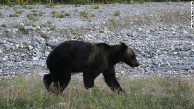 Alaska grizzly missing half a leg