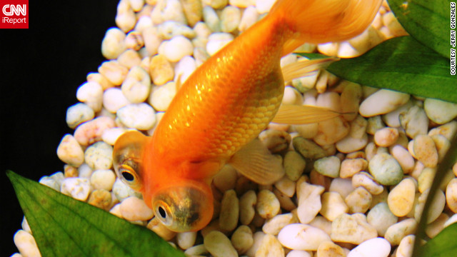 iReporter Jerry Gonzales shot several close-up photos of a colorful variety of goldfish from his April 6 visit to Hong Kong's Ocean Park.