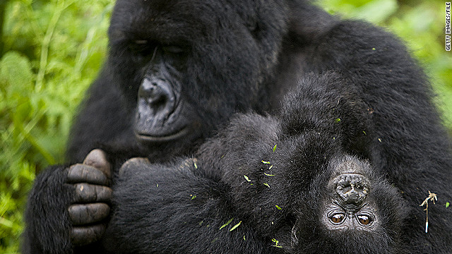 Virunga National Park in the Democratic Republic of Congo is home to roughly 25% of the world's mountain gorillas.