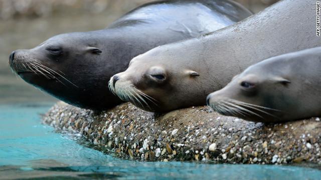 Hallan 30 lobos marinos muertos en Chile 120516124740-sea-lions-story-top