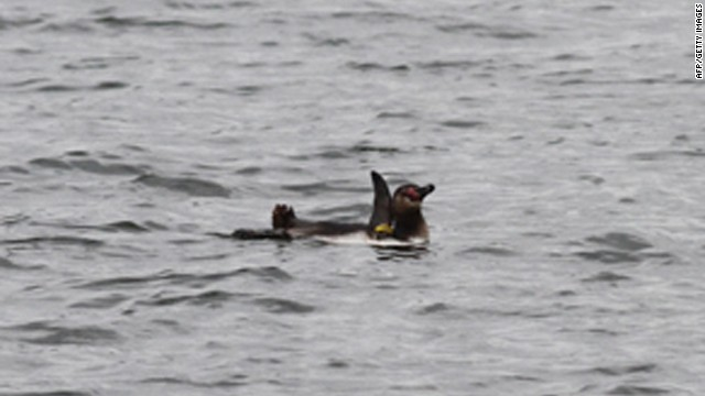 Fugitive penguin apparently thriving in Tokyo Bay