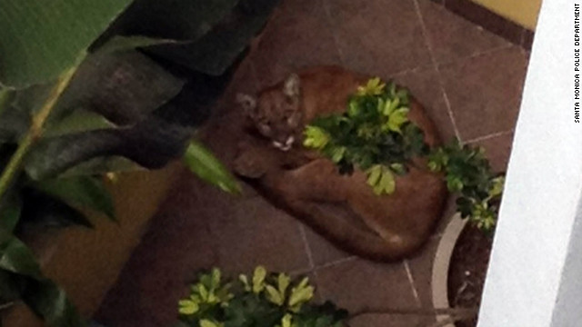The Santa Monica Police Department released this photo of the mountain lion, taken before it tried to escape and was killed.