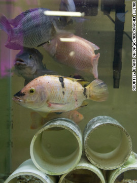 Waste from Tilapia fish farmed at The Plant provides nitrates that are used to feed to plants growing in hydroponic beds. The plants absorb the nitrates, cleaning the water, which is then returned to the fish.