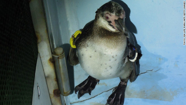 Japan's fugitive penguin captured