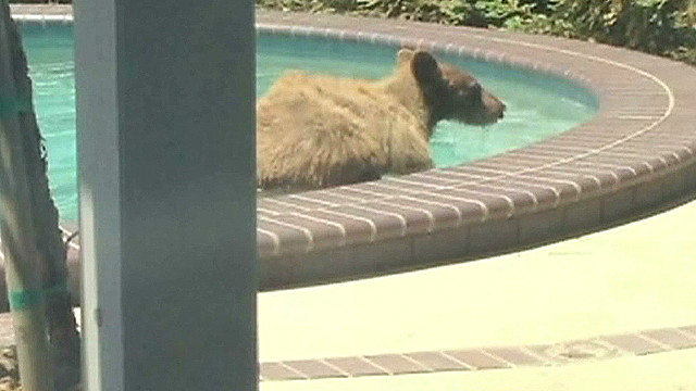 Gotta Watch: Bear invades pool, TV news set