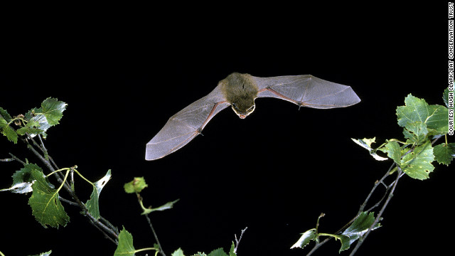 A single common pipistrelle can eat around 3,000 in one night.
