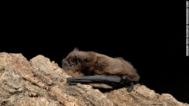 The common pipistrelle is one of Britain's more common species, but they are only around 4cm in length with a 20 cm wingspan.