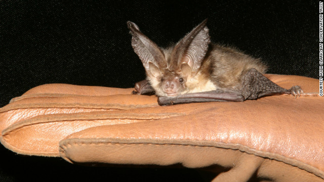 A brown long-eared bat is one of the species the Bat Conservation Trust is looking to protect by encouraging architects to build new homes with bats in mind. 