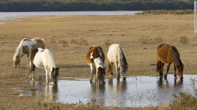 On Assateague and Chincoteague, barrier islands off the coast of Virginia and Maryland, the descendants of ponies brought by colonists in the 1600s roam freely through salt marshes, pine forests and windswept beaches.