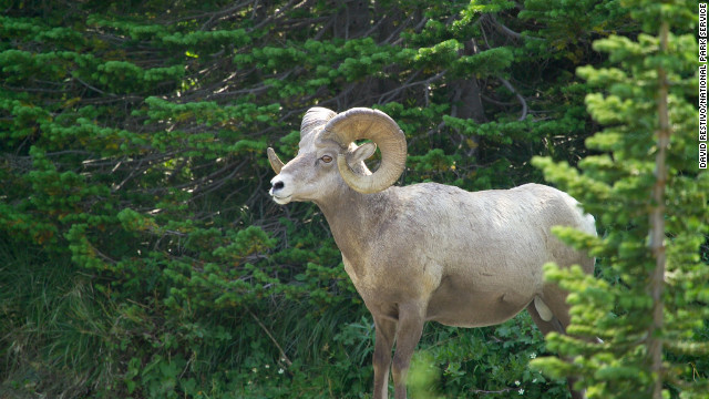 Visitors may see bighorn rams in Glacier National Park.