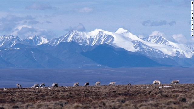 Caribou graze on the tundra in the Arctic National Wildlife Refuge in Alaska.