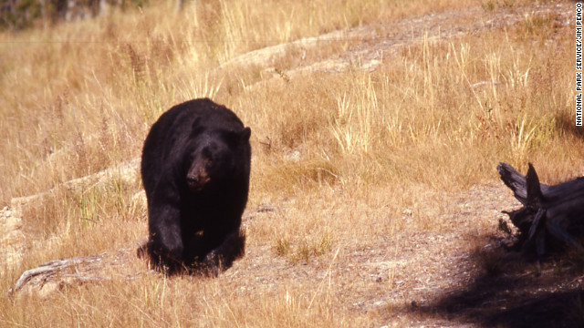 Visitors to Yellowstone National Park may spot bears in the park.
