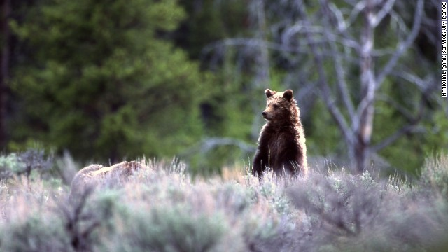 In Yellowstone, backpackers may see bears from March through November. Yellowstone National Park is primarily in Wyoming, but small parts of the park are also located in Montana and Idaho.