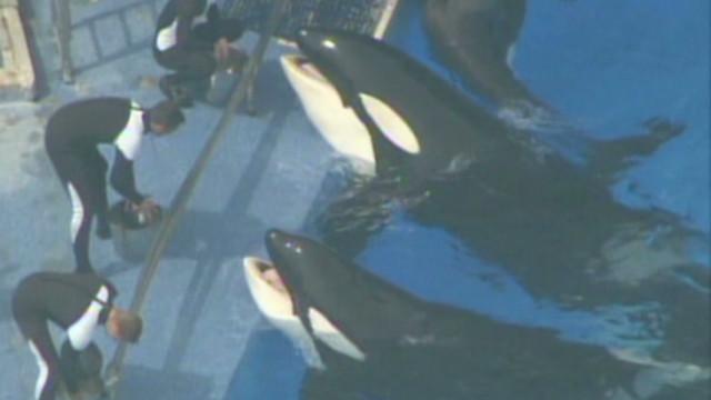 Grupo defensor de animales compra acciones de Seaworld para liberar a las orcas