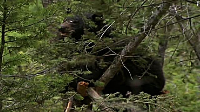 Un oso se come el cadáver de un hombre acusado de asesinato en Canadá