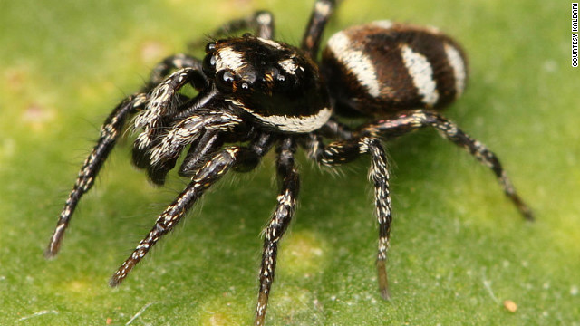 Can jumping spiders kill in space? Student's experiment set for orbit