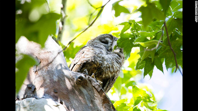 A Mexican spotted owl sits in a tree in Coronado National Forest. The owl is a threatened species, and until a few days ago its presence in Miller Canyon was a matter of speculation. But now that it has surfaced, the owl could be a game-changer in the water war between the U.S. Forest Service and Tombstone, Arizona.