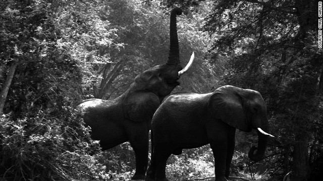 Elephants \'face extinction in 20 years\'