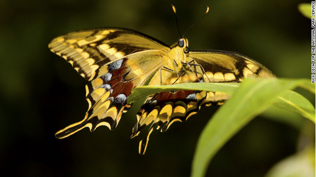The Schaus swallowtail butterfly is contained to a relatively small area in southeast Florida.