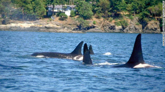 An orca whale family swims close to shore.