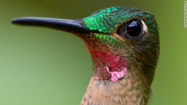 "The pink-throated brilliant is a member of the hummingbird family and is native to Colombia, Ecuador and Peru. It is classified as ""vulnerable"" by the IUCN Red List. Thirteen percent of birds are threatened with extinction."
