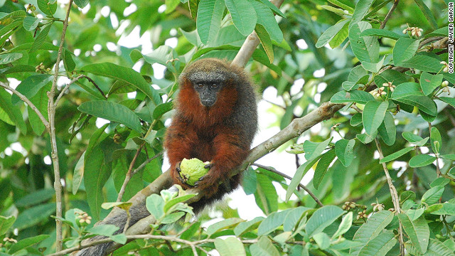 The IUCN estimates that a quarter of all mammals on Earth are threatened with extinction. The Caqueta Titi monkey and a Burmese snub-nosed monkey are two of the 1,900 species that were newly added to the 2012 Red List.