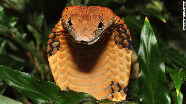 The world's largest venomous snake is classified as &quot;vulnerable&quot; to extinction by the IUCN. Of the 63,837 total species assessed, 19,817 are threatened with extinction.