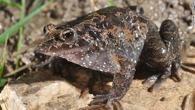 This rediscovered frog, which can be found in Lake Huma, Israel, is classified as &quot;critically endangered.&quot; Amphibians make up the largest number of species in danger, with 41% threatened with extinction.