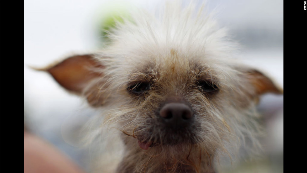 Josie, a 3-year-old Chinese crested, takes part in the 24th annual World's Ugliest Dog Contest at the Sonoma-Marin Fair in Petaluma, California, on Friday, June 22.