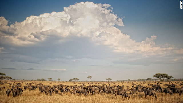 We love the wildebeest migration, and so do the lions.