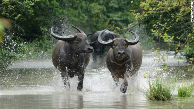 Wild buffalos run through flood waters in the Pobitora Wildlife Sanctuary on June 28. Floodwaters have forced rhinos and other wild animals to shelter in the woodland of the park which is located at a higher altitude. 