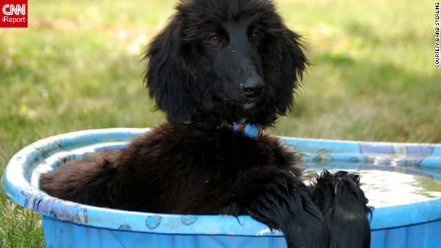 It's 100 degrees outside (or worse). How's a fur-covered pup to cope? CNN iReporters from around the United States have been sharing photos of their best friends cooling off, and let's face it: They're too cute not to post.<br/><br/>Here, Prim the Afghan hound manages to look elegant while relaxing in a baby pool in Gahanna, Ohio.
