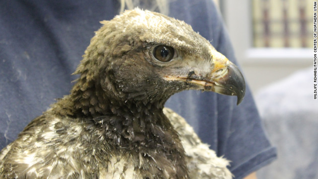 This young golden eagle, nicknamed Phoenix, is being cared for after suffering burns from a wildfire south of Salt Lake City in late June