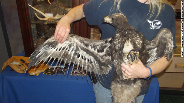 The young golden eagle also sustained severe injuries on his wings.