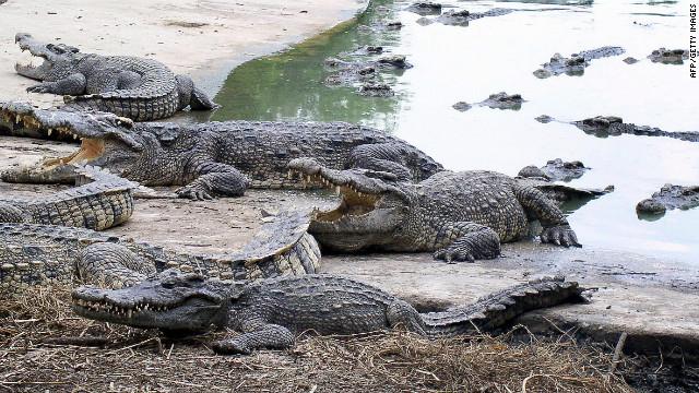 Rescatan miles de cocodrilos siameses de contrabandistas en China