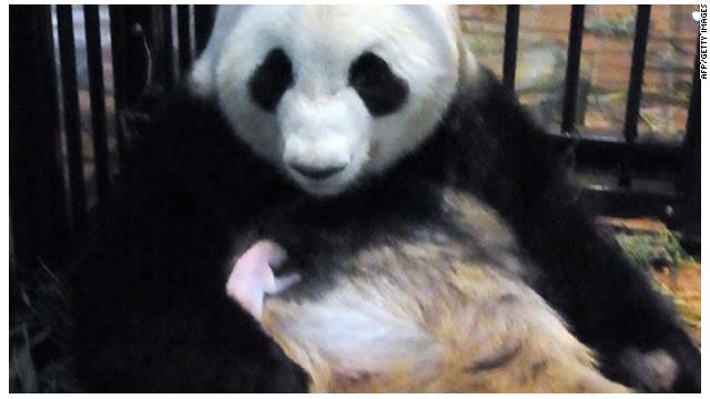 El panda gigante recién nacido en Japón muere de neumonía en el zoológico