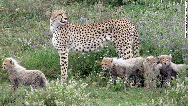 The Ndutu Lake area of the Ngorongoro Conservation Area has a strong cheetah population.
