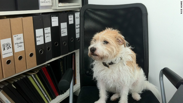 Tiger, a long-haired Jack Russell terrier, accompanies its owner to work at an architecture practice in East London. 