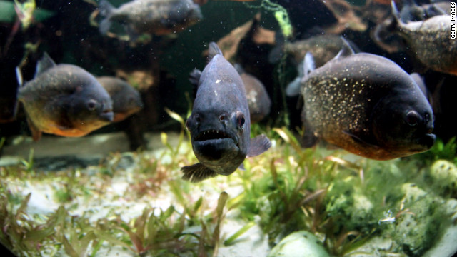 City cancels piranha bounty as other fish slaughtered
