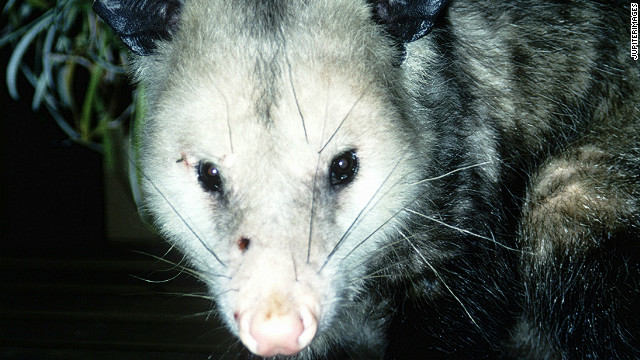 Comment of the day: how to cook opossum