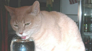 Mayor Stubbs of Talkeetna, Alaska, drinks water with catnip from a wine glass.