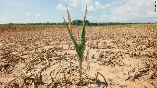 A single stalk of corn grows in a drought-stricken field near Shawneetown, Illinois, on July 16. 