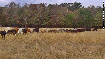 cows in field