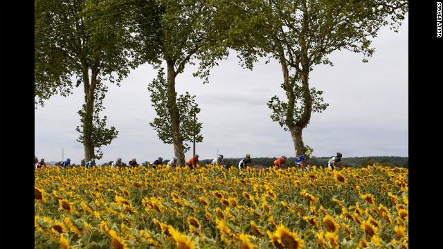 The pack of riders glide past a field of sunflowers Friday.