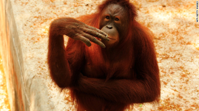 Smoking orangutan moves to island to kick habit