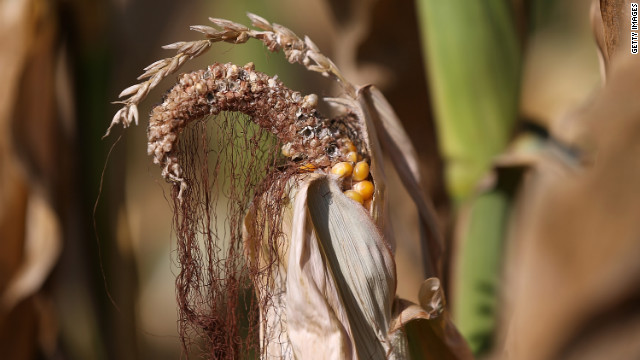 Heat and drought have destroyed corn yields.