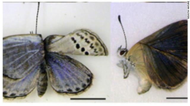 Científicos hallan mariposas mutantes en Fukushima