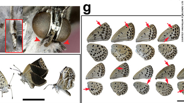 Mutant butterflies a result of Fukushima nuclear disaster, researchers say