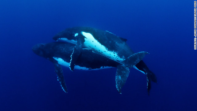 Competition organizers say this is the first time humpback whale mating has ever been documented. To earn the right to mate, the male whale had to compete for several hours in battles of strength and endurance against others in its pod. Photo by Jason Edwards.